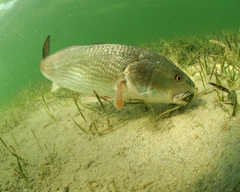 Redfish on Grass Flat